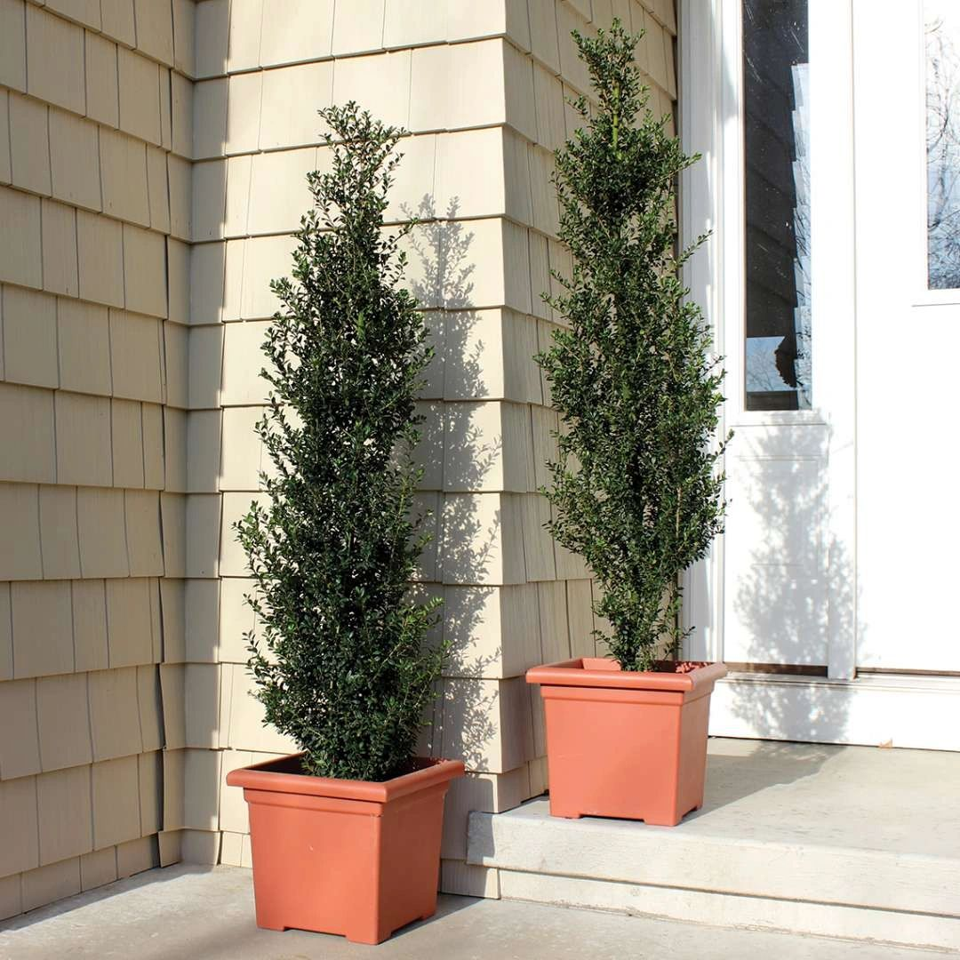 Ilex crenata Proven Winners® Patti O Box™ Japanese Holly 3G