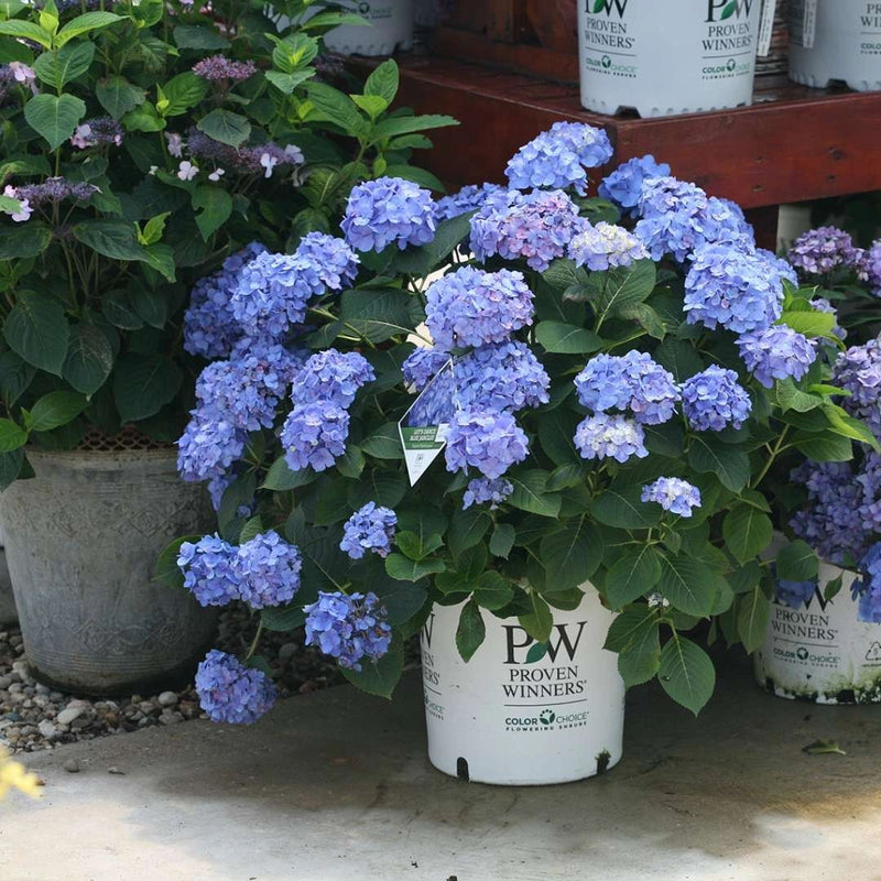 Lets Dance Blue Jangles Hydrangea Shade