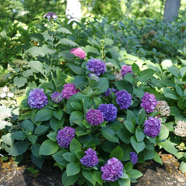 Hydrangea Proven Winners® Lets Dance® Rave® - Partial Shade 3g