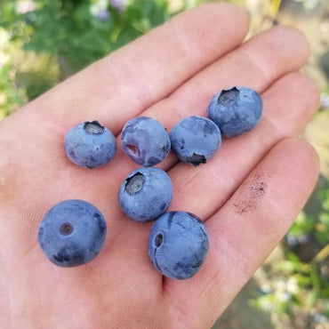 Vaccinium Duke 3G Blueberry Bush