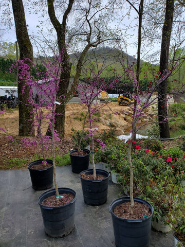 Ornamental Tree Cercis Redbud 'Black Pearl' 15g'
