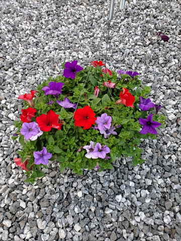 Hanging Basket Flowering Petunia Supertunia Mixed w\ Red, Purple & Light Purple