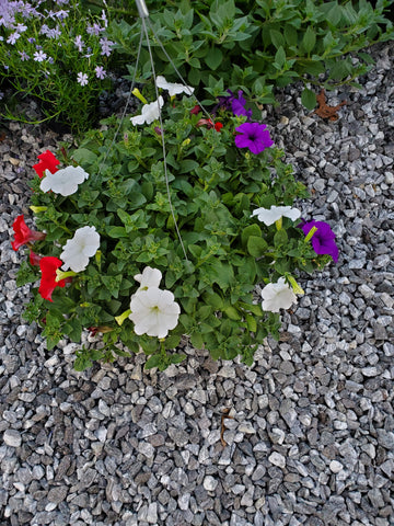 Hanging Basket Wave Petunia RED WHITE PURPLE