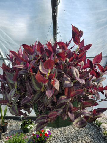 Hanging Basket Wandering Jew SUN Flowering