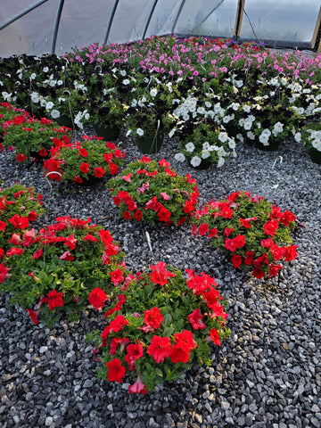 Hanging Basket Petunia Red