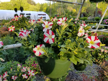 Hanging Basket Candy Stripe Petunia