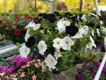 Hanging Basket Wave Petunia Black & White