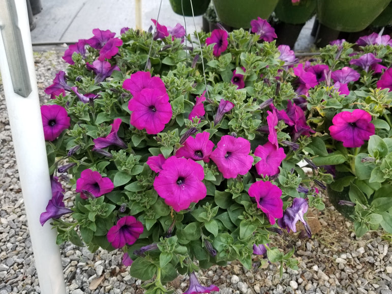 Hanging Basket Wave Petunia Bright Purple
