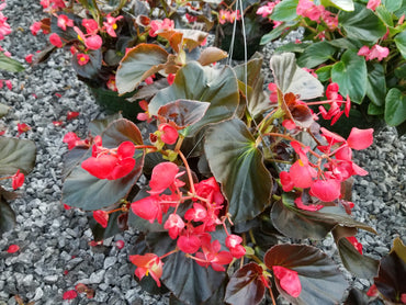 Hanging Basket Flowering Bronze Begonia Red