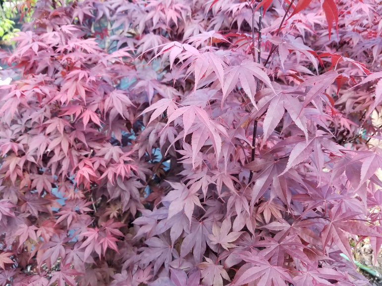 Acer Palmatum Bloodgood Japanese Maple 3G