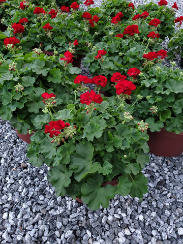 Geranium 12 inch Decorative Pot RED