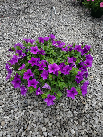 Hanging Basket Petunia Dark Purple