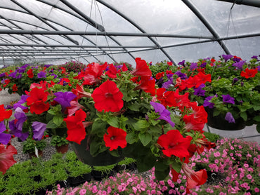Hanging Basket Wave Petunia RED & PURPLE