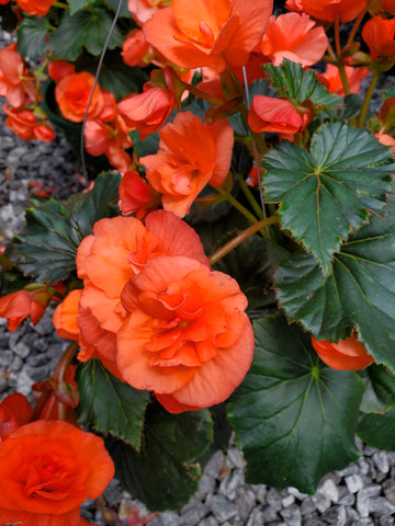 Hanging Basket Flowering Begonia Orange Double