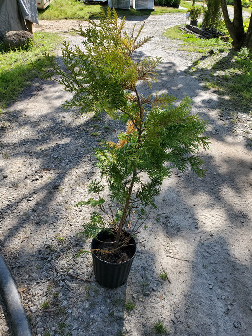Chamaecyparis Cripsii golden tree grade 1.5