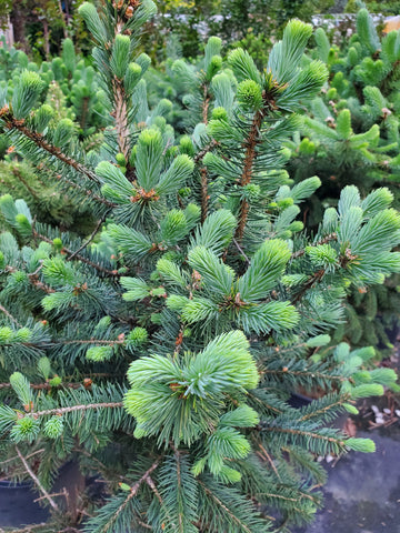 Colorado Blue Spruce 3 Gallon Grade 1.5 SUPER SALE