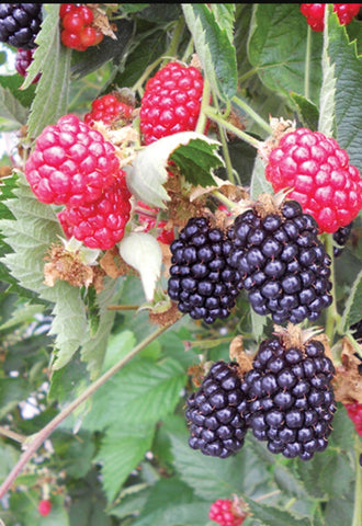 Ouachita Blackberry