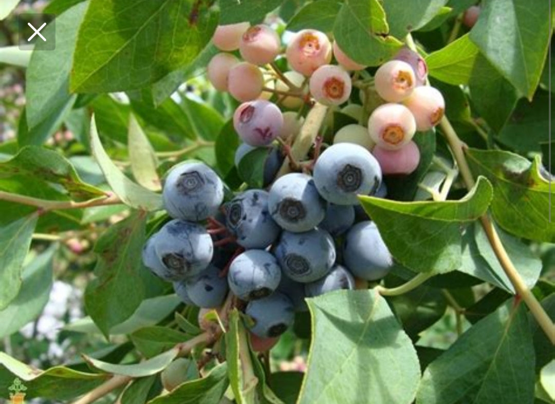 Vaccinium Brightwell Blueberry Bush 1g