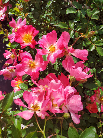 Rosa Drift® Pink Rose Bush 3G