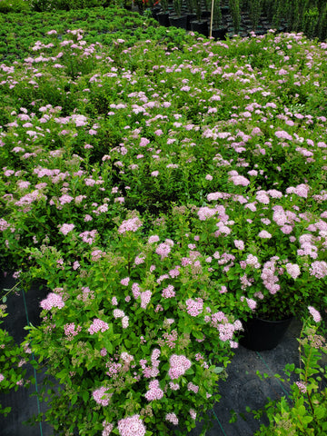 Spiraea Little Princess 3G