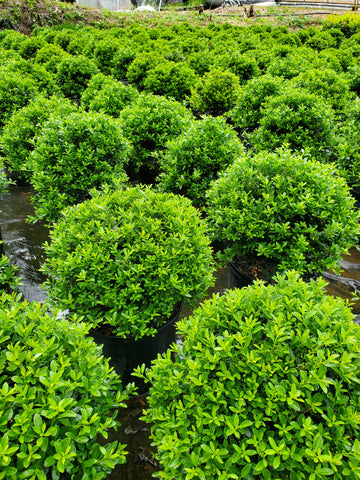 Ilex crenata Hoogendorn Holly 3G