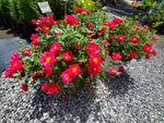 Rosa Proven Winners Color Choice Rose OSO EASY® URBAN LEGEND®