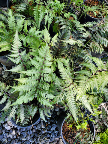 Japanese Painted Fern Perennial 1G