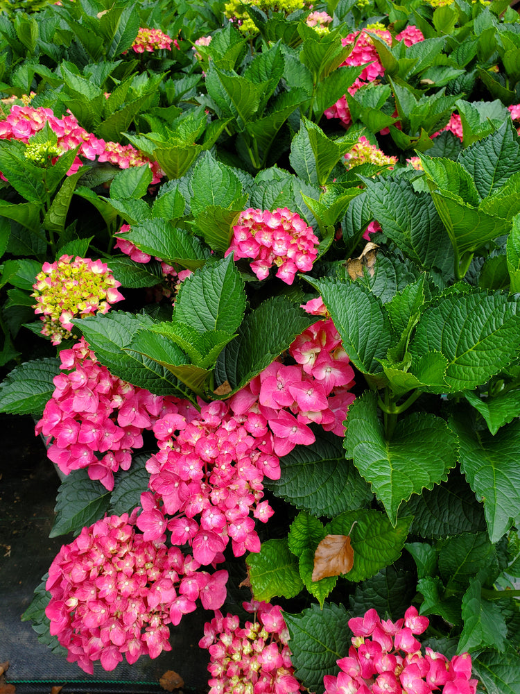 Hydrangea Proven Winners® Cityline® Paris - Partial Shade 3g