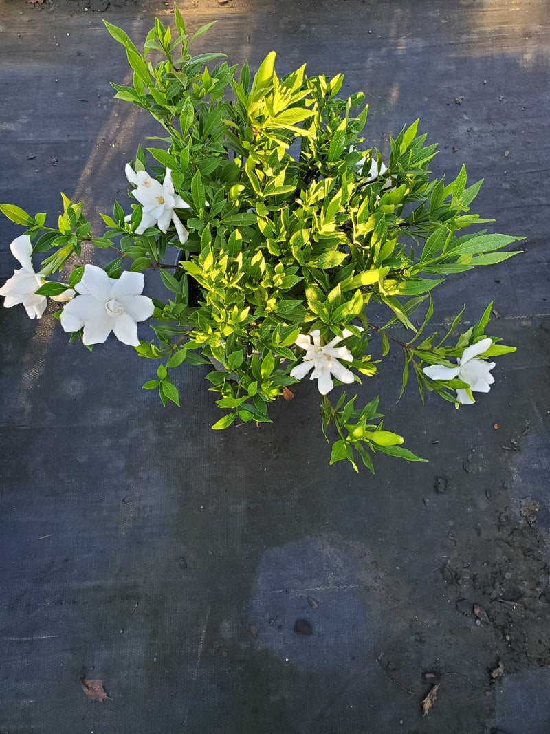 Frost Proof Gardenia Evergreen