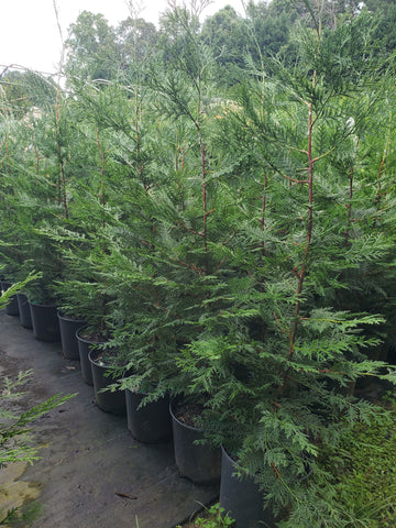 Cupressus Murray Cypress 3G