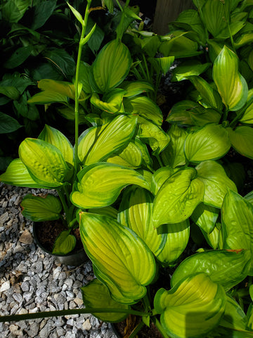 Stained Glass Hosta 1gal