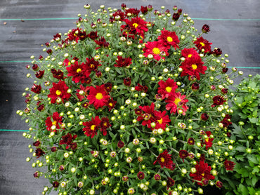 Mum Daisy Red 8in