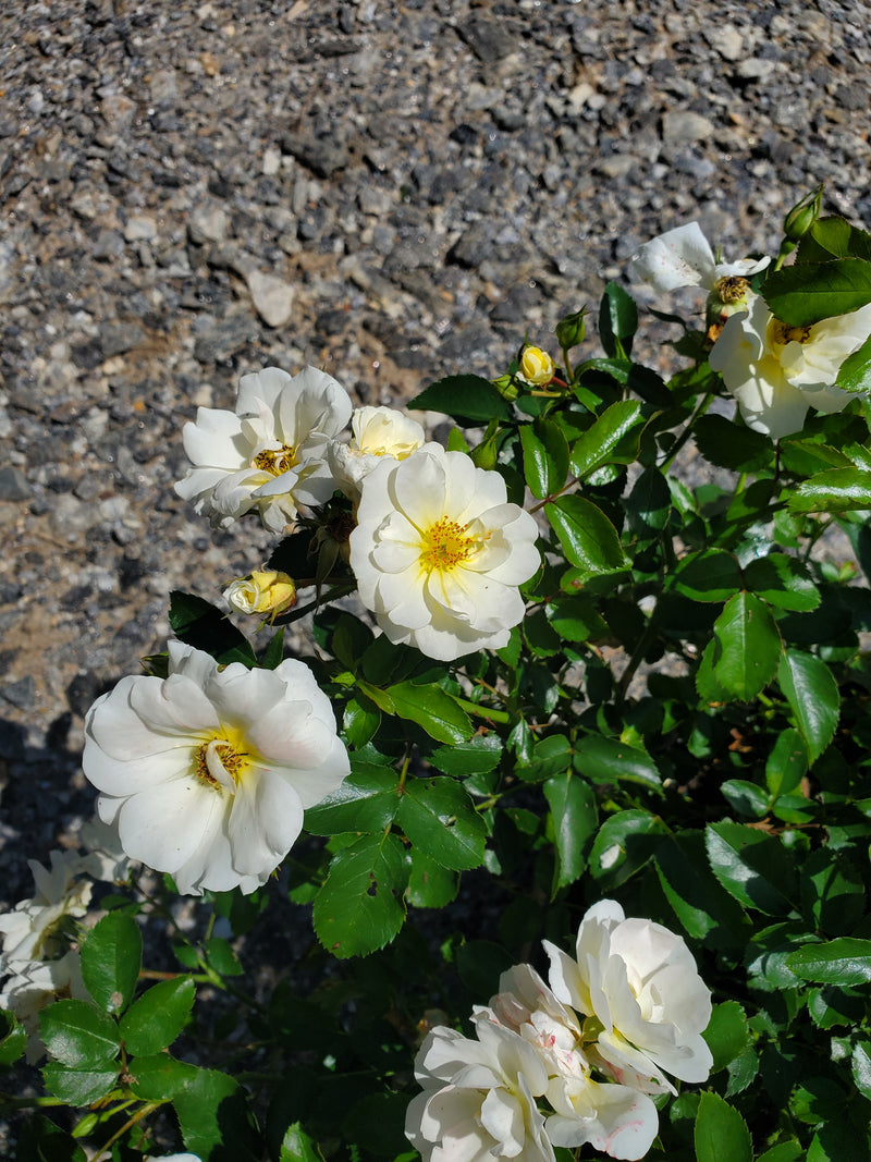 Rosa Drift® Popcorn Rose Bush 3G