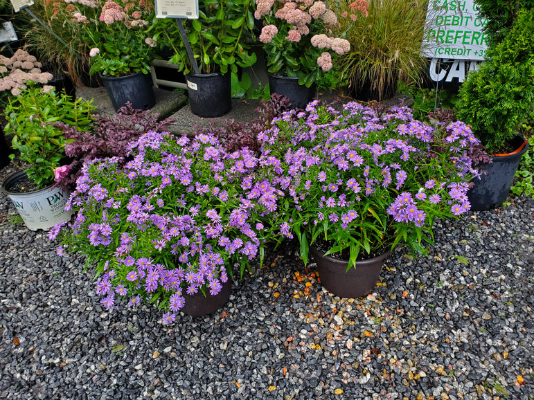 Giant Hardy Asters in 12in container