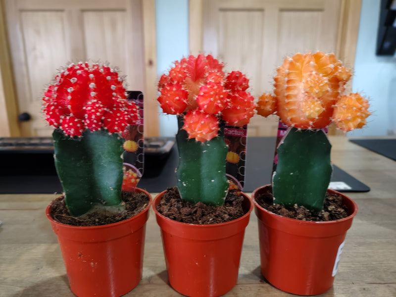 Grafted Moon Cactus Succulent 2.5in