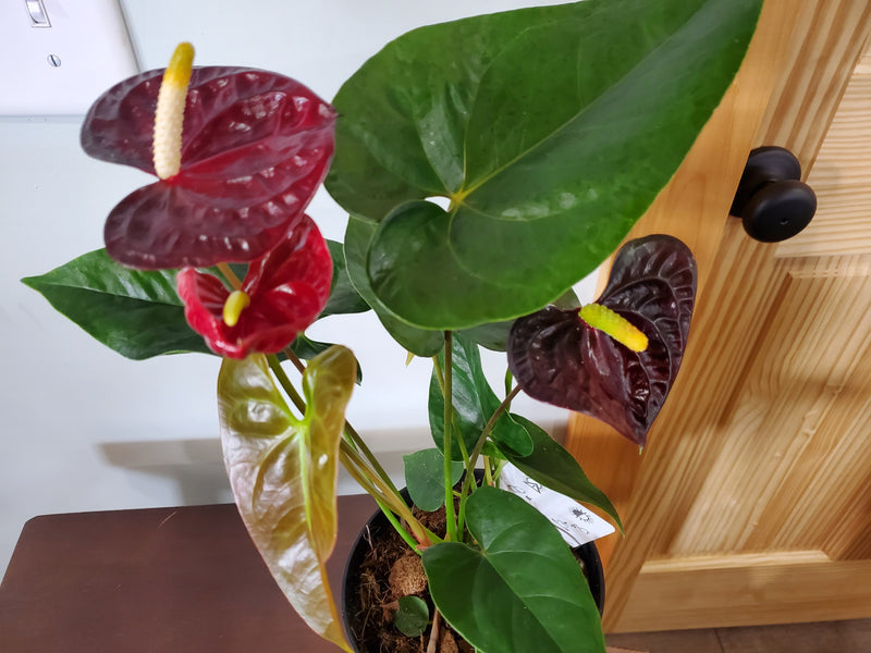 Anthurium House Plant 6in