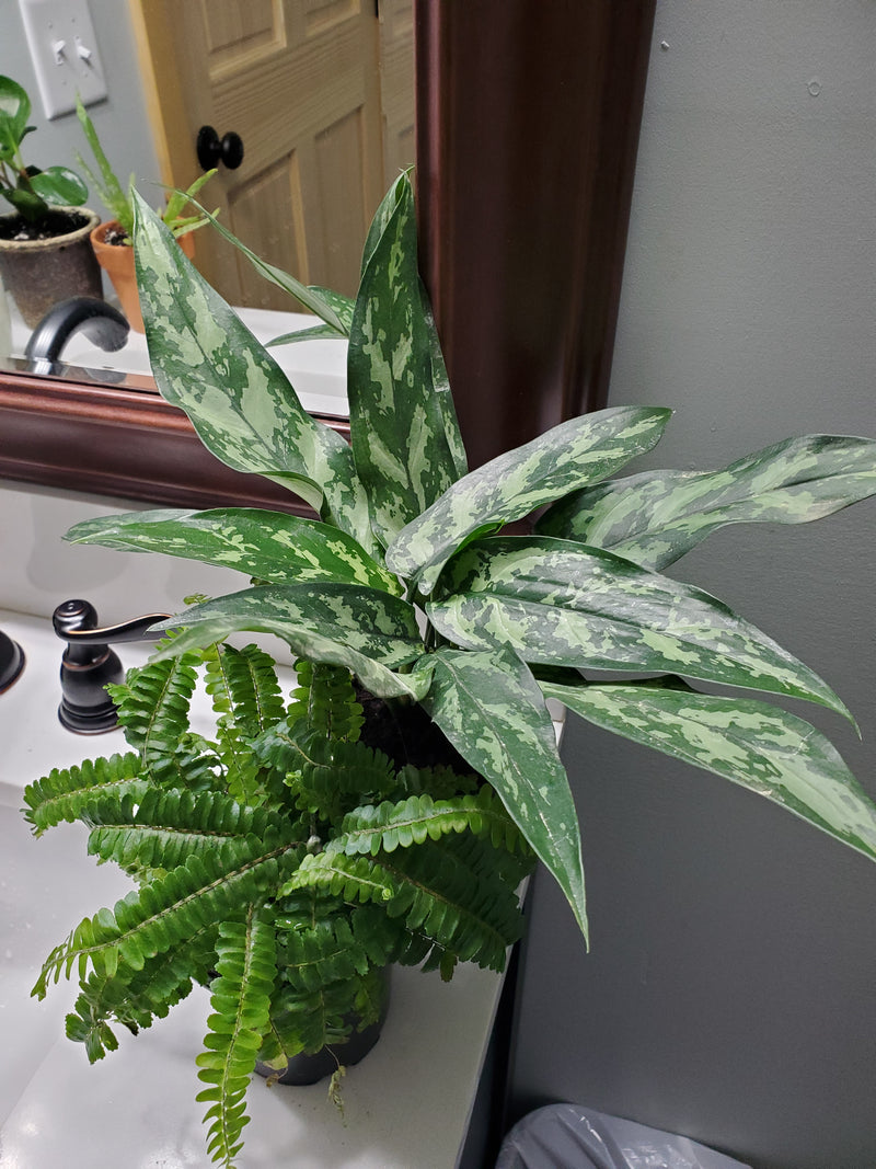 Aglaonema 'Maria' House Plant 6in