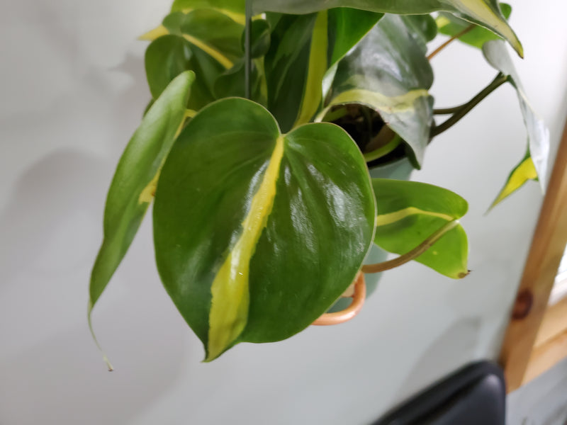 Philodendron 'Brazil' 6in