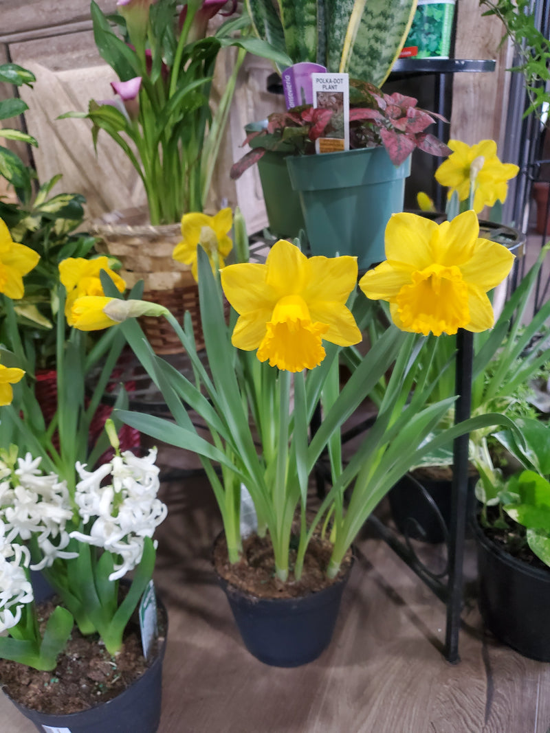 Daffodil Bulbs 6in
