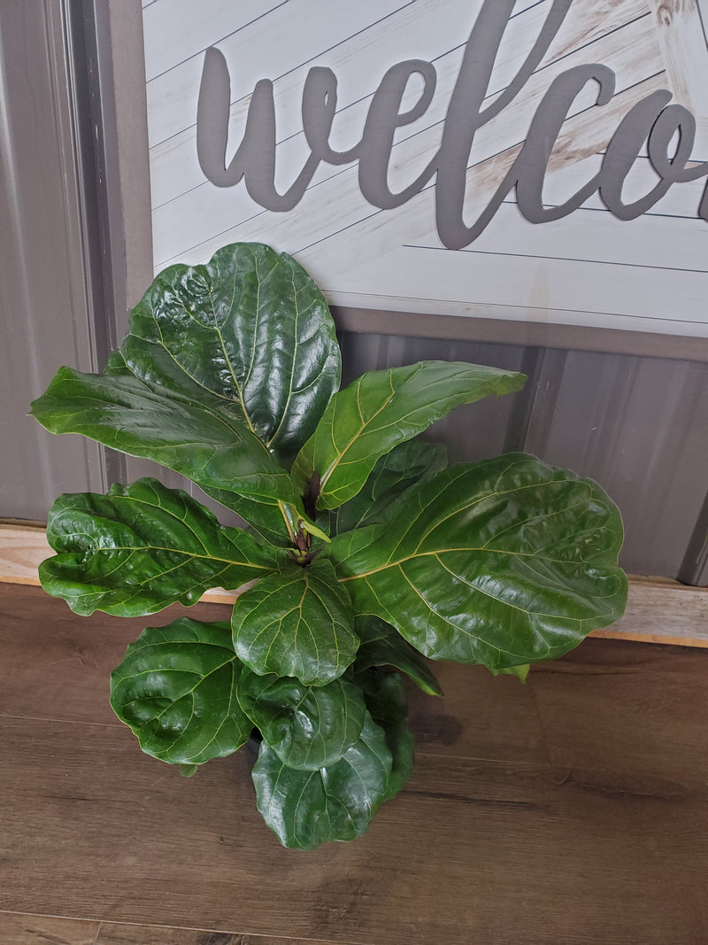 Fiddle Leaf Fig Tree House Plant