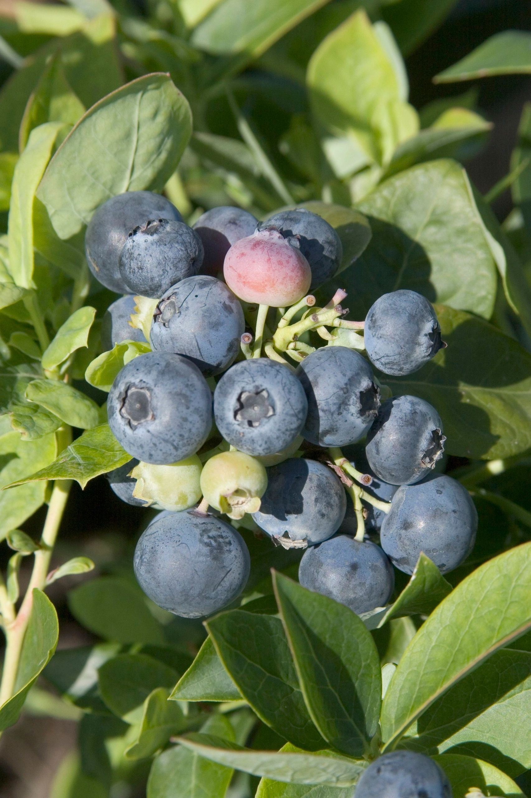 Vaccinium Spartan 3G Blueberry Bush