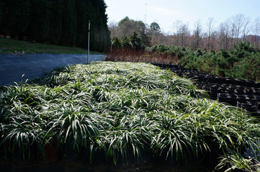 Ornamental Grass Liriope muscari 'Big Blue' Monkey Grass 1g