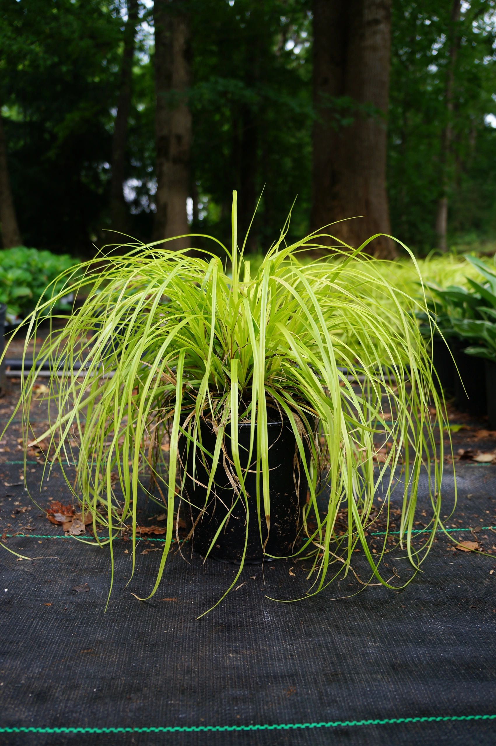 Ornamental Grass Carex 'Everillo' 1g