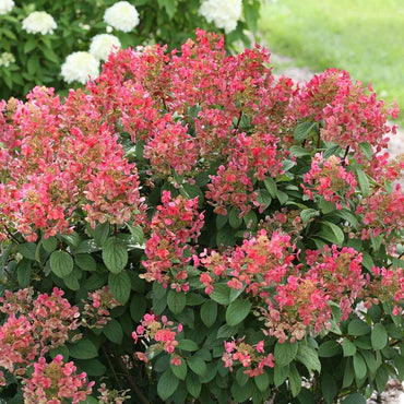 Hydrangea Paniculata Proven Winners® Little Quick Fire® - Sun 3g