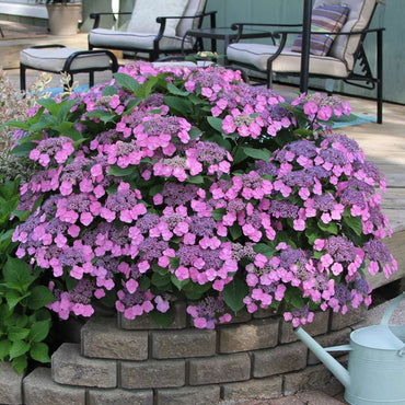 Hydrangea Proven Winners® Tuff Stuff™ - Partial Shade 3g