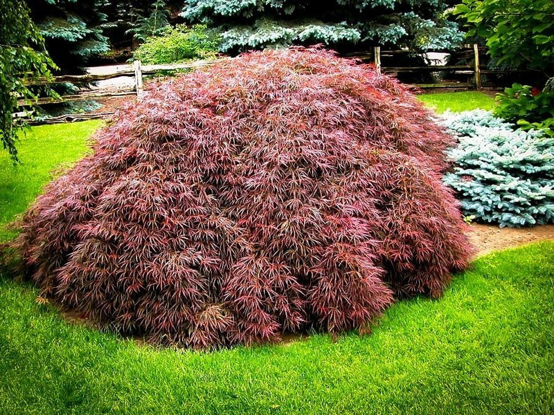 Acer Tamukeyama Japanese Maple 3 Gallon