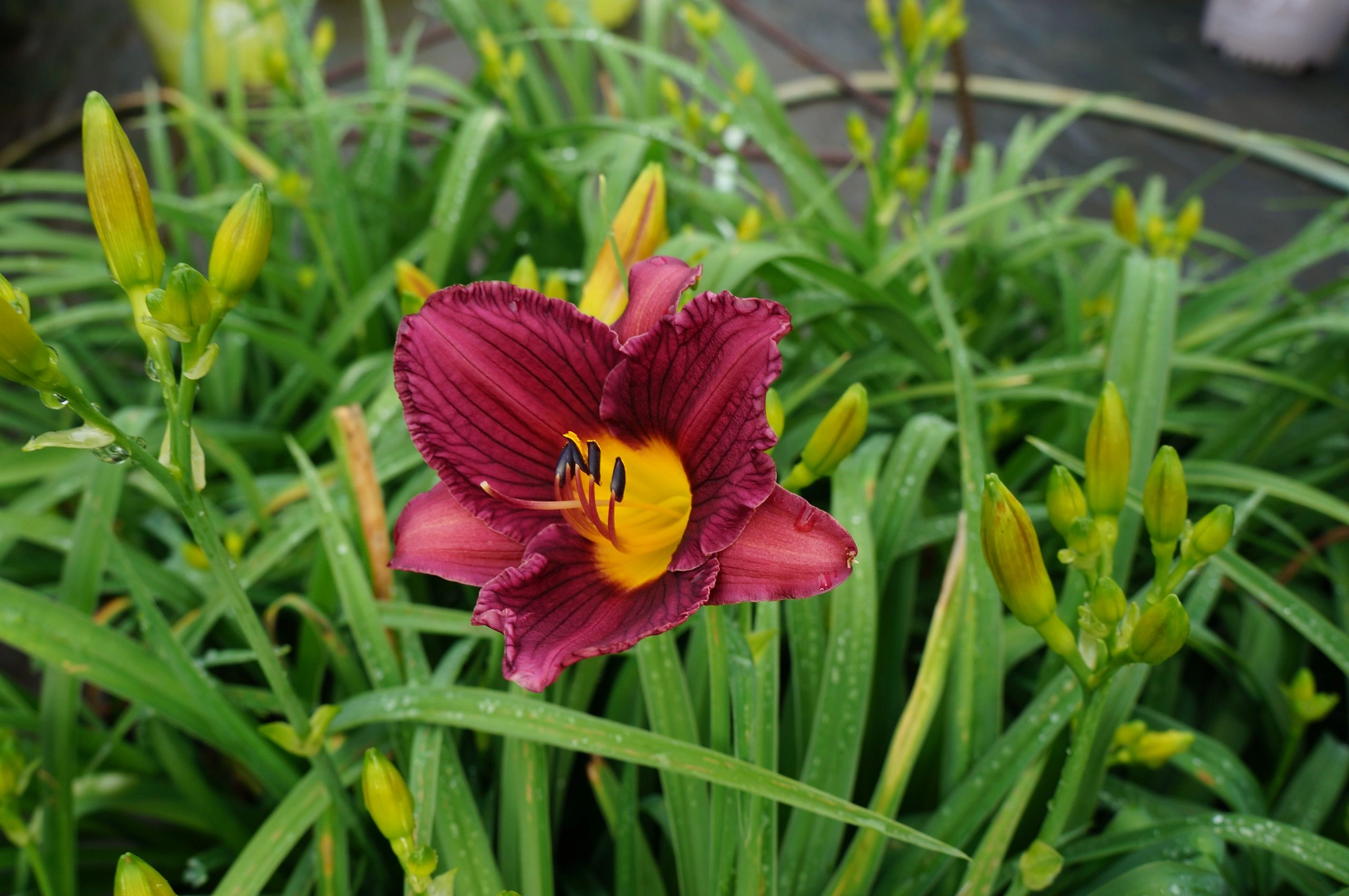 Daylilly Purple De Oro 1g