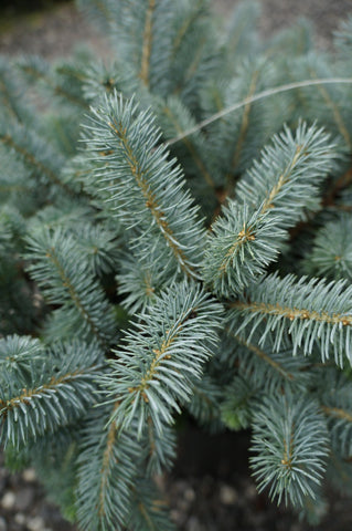 Picea Globosa Spruce Low Graft 3G