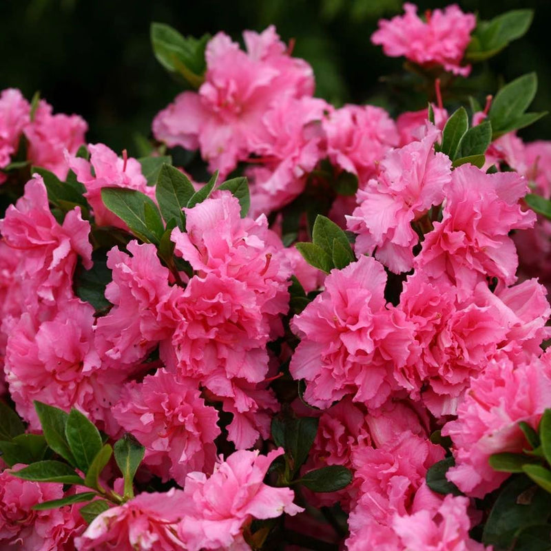 Azalea Bloom A Thon Double Pink Reblooming