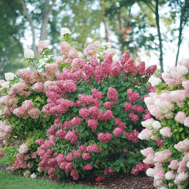 Hydrangea Paniculata Proven Winners® Fire Light® - Sun 3g